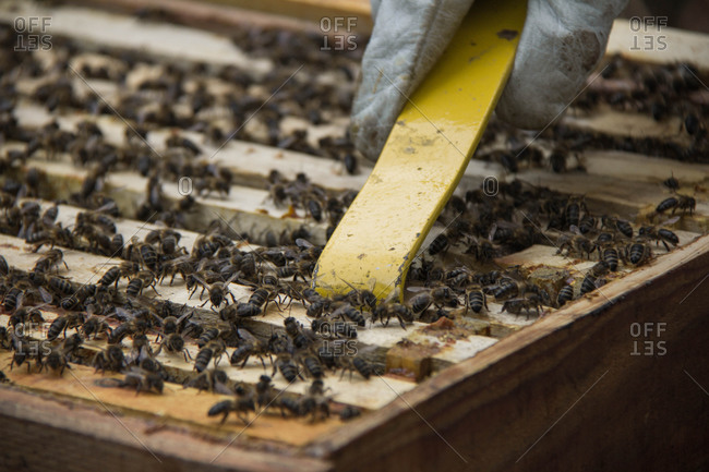 Beekeeper taking frame of honeycombs with bees