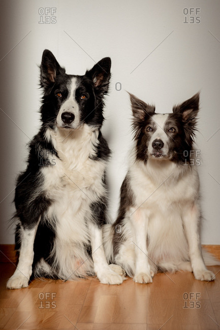 Serious white and black purebred dogs looking at camera while sitting on wooden floor against gray wall