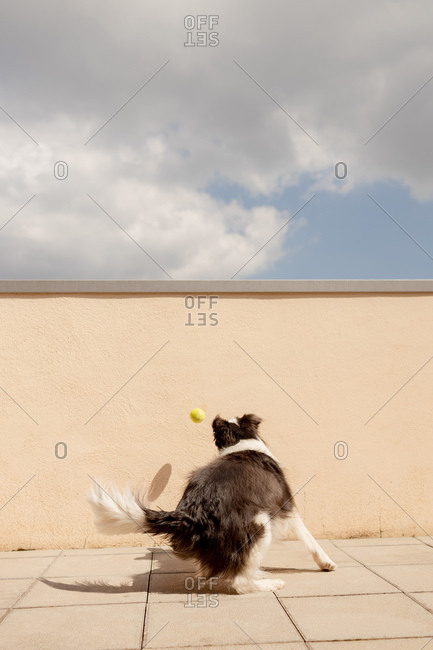 Excited Border Collie carrying yellow ball in mouth playing near concrete fence and running along path to owner in sunny street