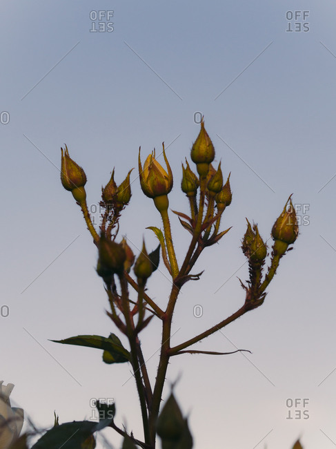 Rose buds getting ready to bloom