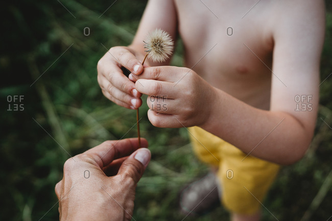 Close up of hands of young child and mother picking up dandelion
