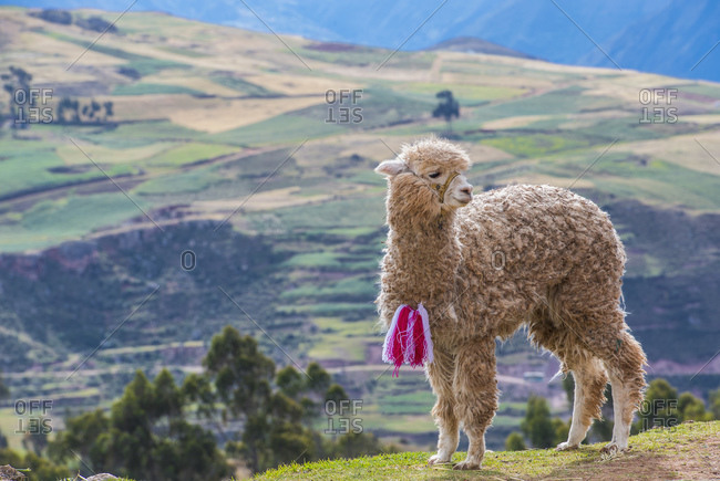 young alpaca in the sacred valley of the Incas in Peru