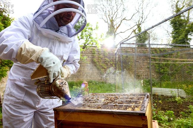 Male beekeeper using bee smoker on beehive in walled garden