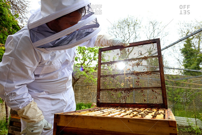 Male beekeeper removing beehive lid in walled garden