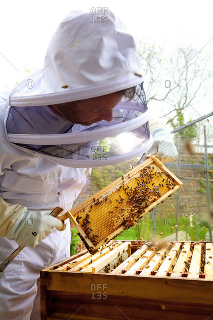 Male beekeeper inspecting honeycomb frame in walled garden