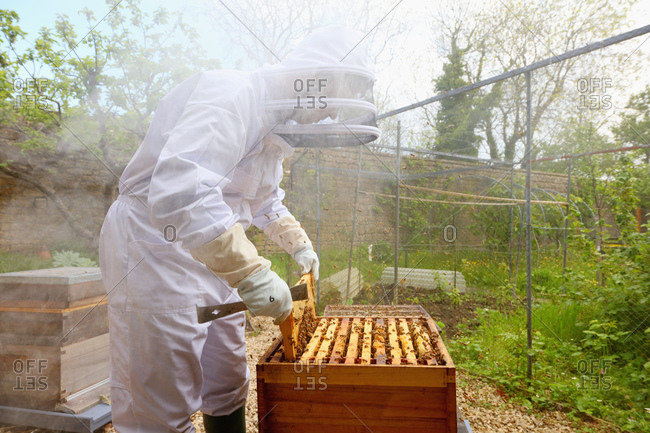 Male beekeeper removing honeycomb frame from beehive in walled garden