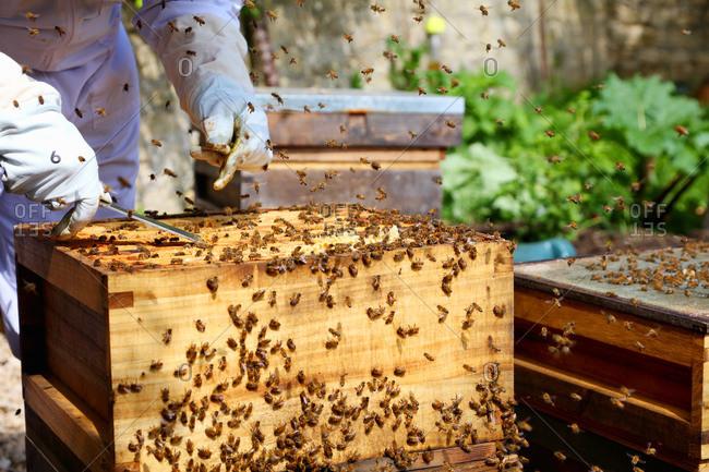 Male beekeeper tending beehive in walled garden, cropped