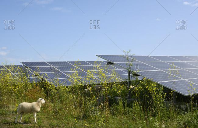 Sheep grazing mustard plants at solar farm, Geldermalsen, Gelderland, Netherlands