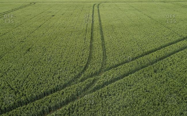 Wheatfield with tractor tracks, Geersdijk, Zeeland, Netherlands
