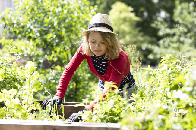 Mid adult woman checking plants in raised beds in her garden