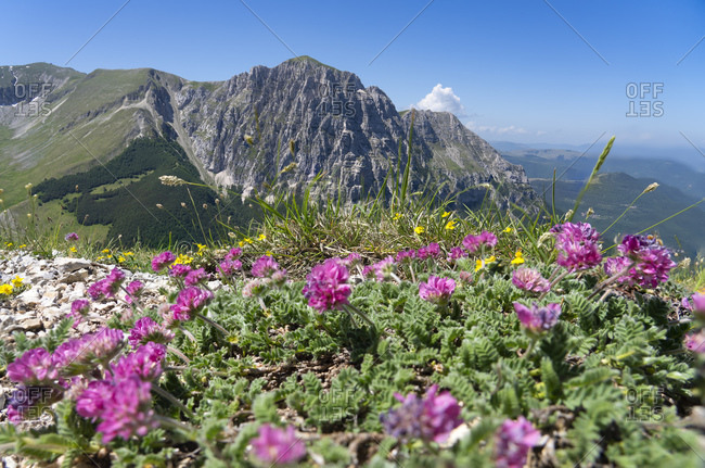 Italy- Wildflowers blooming in Sibillini Mountains with Mount Bove in background