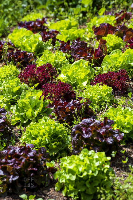 Germany- Green and purple lettuce growing in vegetable garden