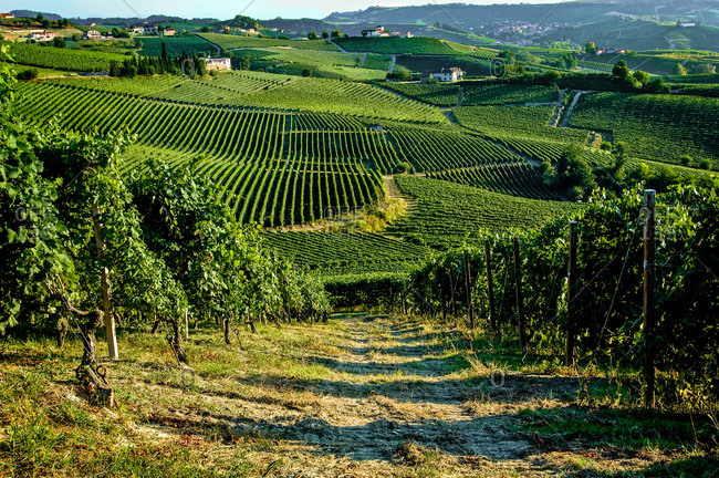 Rolling landscape with vineyard in Piedmont, Italy.