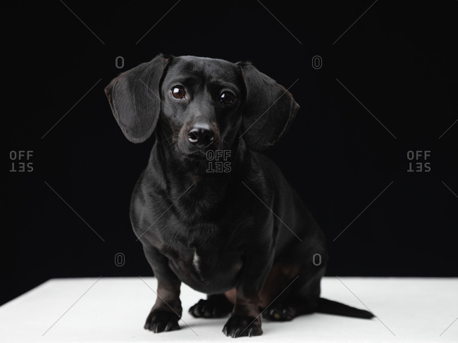 Portrait of a black daschund dog on black background.