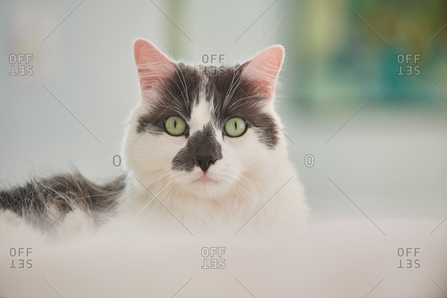 A cat with white fur and dark markings on its face