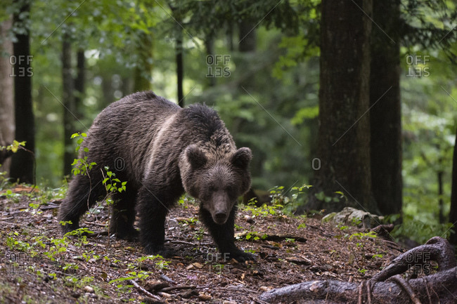 European Brown Bear, Ursus arctos in the Notranjska forest in Slovenia