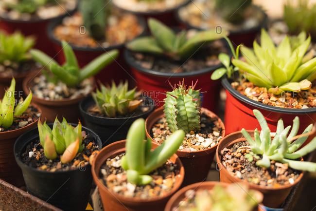 Close up of various green succulents in a plastic pots in sunlight, placed in a sunny garden