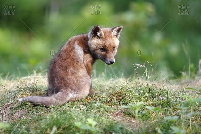 Red fox (Vulpes vulpes), cub sitting in a meadow