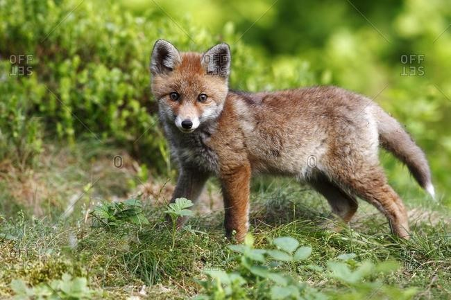 Red fox (Vulpes vulpes), watchful cub standing in a meadow