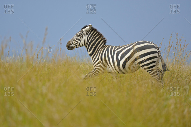 Plains or Common Zebra (Equus quagga) in the grass, Masai Mara National Reserve, Kenya, Africa