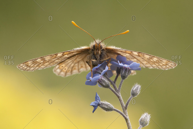 Marsh fritillary (Euphydryas aurinia) - Offset