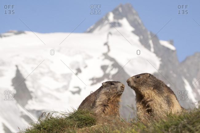 Alpine marmots (Marmota marmota) with Grossglockner at back, Hohe Tauern, Austria, Europe