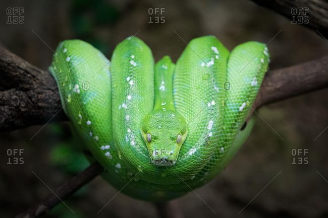 Green Tree Python (Chondropython viridis) on a branch, captive