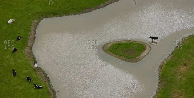 Air view, river Lippe flood plain with cow, renaturation, Hamm, Ruhrgebiet region, North Rhine-Westphalia, Germany, Europe