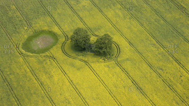Aerial view, canola field, trees, tractor tracks, Mueritz county, Mecklenburg-Western Pomerania, Germany, Europe