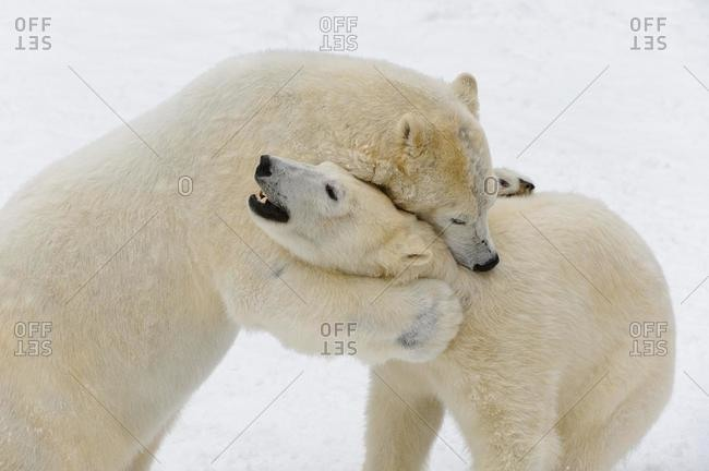 Polar bears (Ursus maritimus), play-fighting