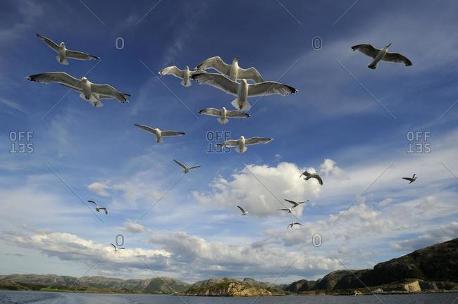 European Herring gulls (Larus argentatus) and Common Gulls or Mew Gulls (Larus canus), flying, Norwegian coastline, Flatanger, Nordtrondelag, Norway, Scandinavia, Europe