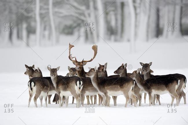 Fallow Deer (Dama dama), buck with does in winter, North Rhine-Westphalia, Germany, Europe