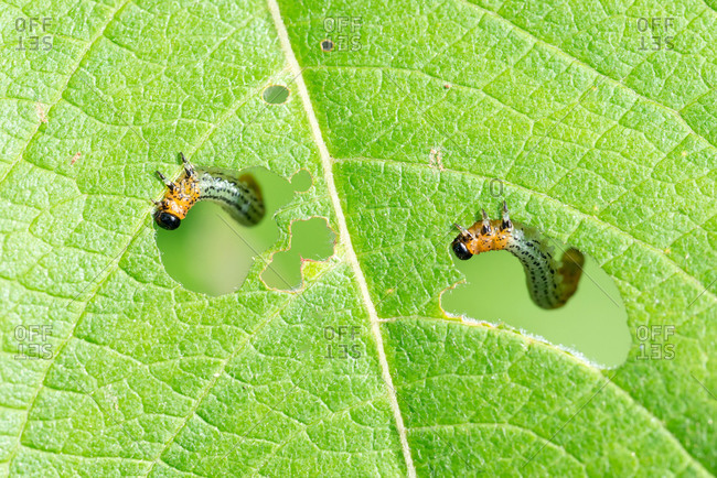 Caterpillars of Willow sawfly (Nematus salicis), eating leaves of a Willow (leaf), Lower Saxony, Germany, Europe