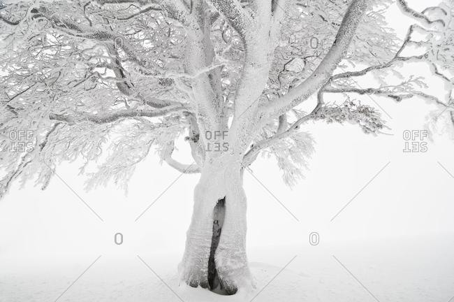 Snow-covered beech, Schauinsland mountain, southern Black Forest, Baden-Wuerttemberg, Germany, Europe