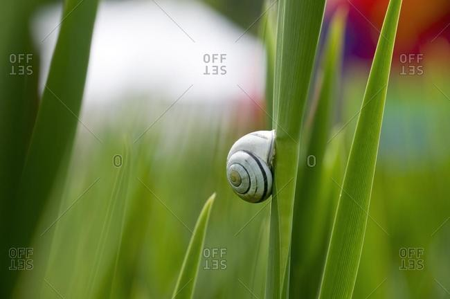 Cepaea snail on blade of reed
