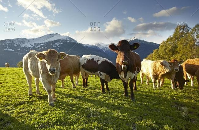 Cattle on pasture, Liesertal valley, Carinthia, Austria, Europe