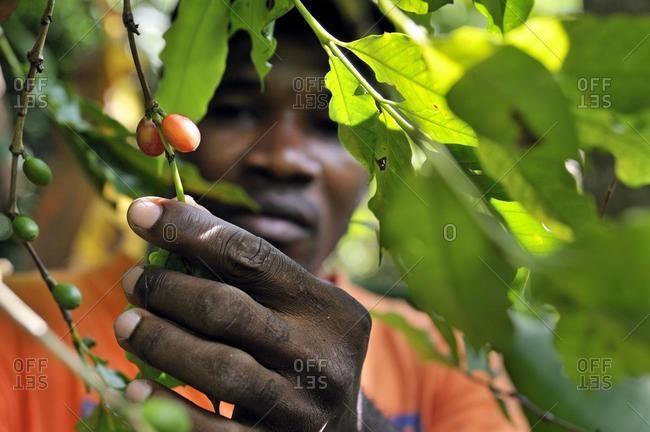 May 21, 2020: Farmer harvesting coffee, Petit Goave, Haiti, Caribbean, Central America