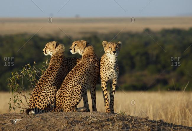 Cheetahs (Acinonyx jubatus), Masai Mara, Kenya, Africa