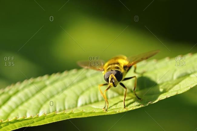 Hoverfly (Myathropa florea) - Offset Collection