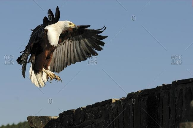 Bald Eagle (Haliaeetus leucocephalus) approaching to land