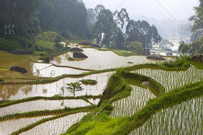 Terraced rice paddies, Batutumonga, Toraja Land, Sulawesi, Indonesia, Asia