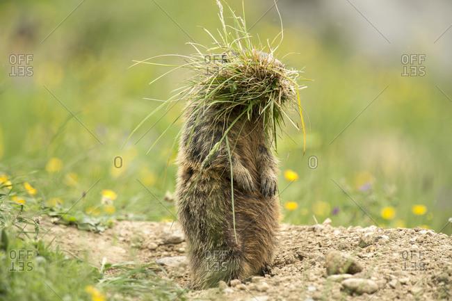 Marmot (Marmota) with tufts of grass, Arlberg Pass, Tyrol, Austria, Europe