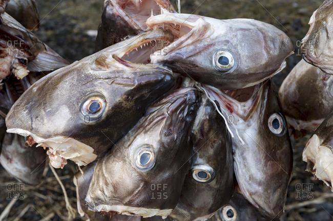 Fish heads, Stock fish, Lofoten, Norway, Europe