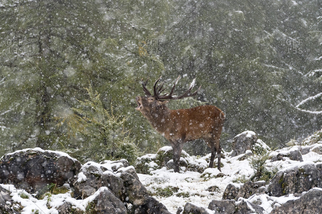 Red deer (Cervus elaphus), roaring deer during rutting season, snowfall, Upper Austria, Austria, Europe
