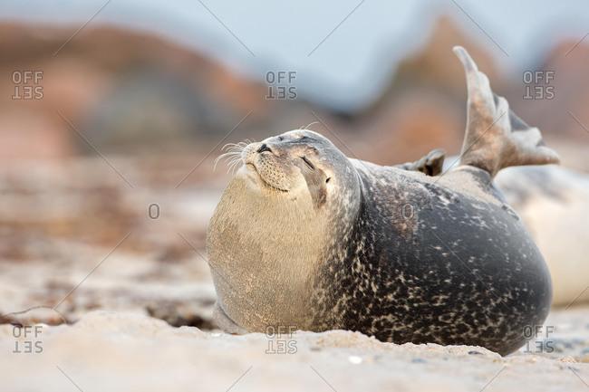 Seal (Phoca vitulina), Heligoland, Schleswig-Holstein, Germany, Europe
