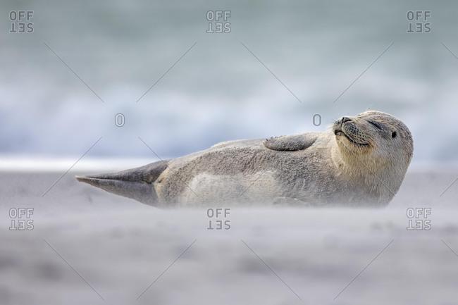 Harbor seal (Phoca vitulina) Young animal in sandstorm, Schleswig-Holstein, Helgoland, Germany, Europe