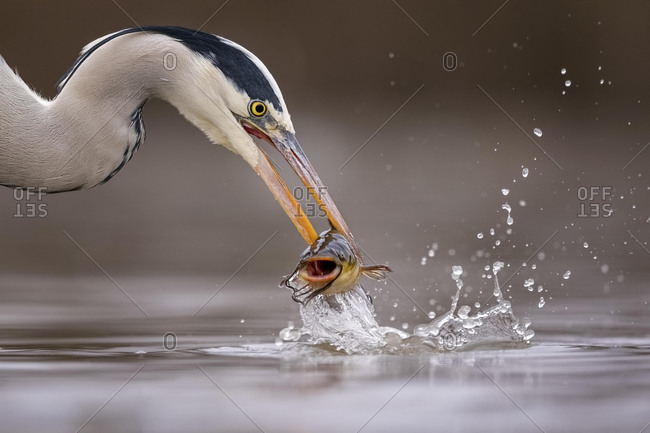 Grey heron (Ardea cinerea), animal portrait, with pygmy catfish as prey, fishing, Kiskunsag National Park, Hungary, Europe