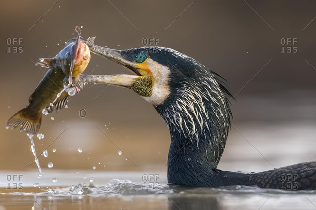 Great cormorant (Phalacrocorax carbo) Portrait, breeding plumage, with pygmy catfish as prey, fishing, Kiskunsag National Park, Hungary, Europe