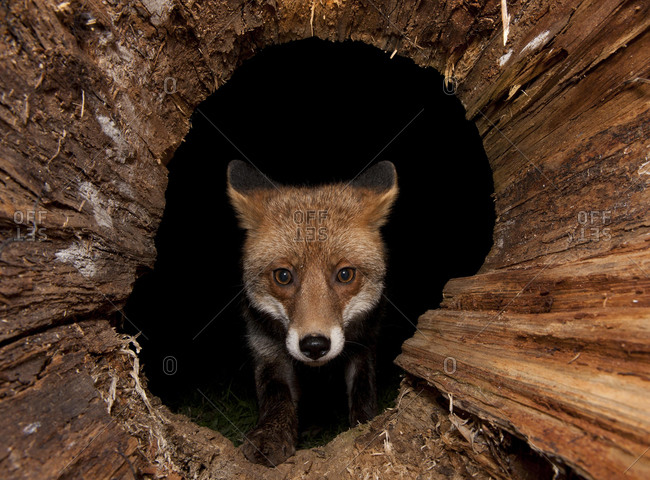 Red fox (Vulpes vulpes) in a hollow tree trunk