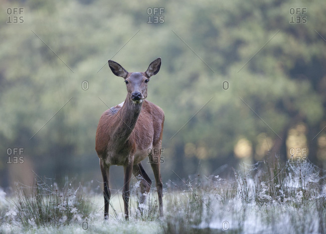 Red deer (Cervus elaphus), female, Duelmen, North Rhine-Westphalia, Germany, Europe